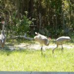 Sandhill Cranes in the Center's back yard.